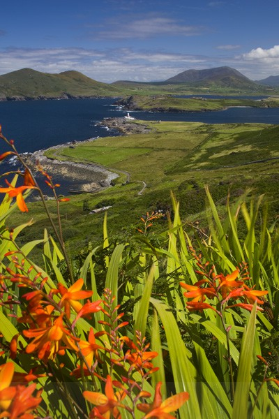 montbretia at valentia island,co. kerry,ireland