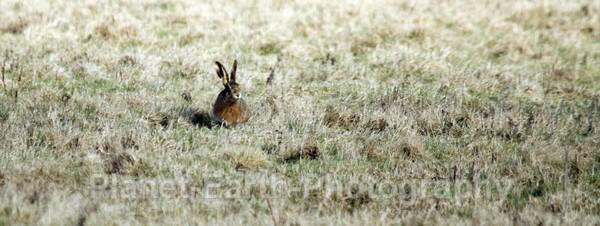 Hare Opposite Paddys Hide - UK Wildlife
