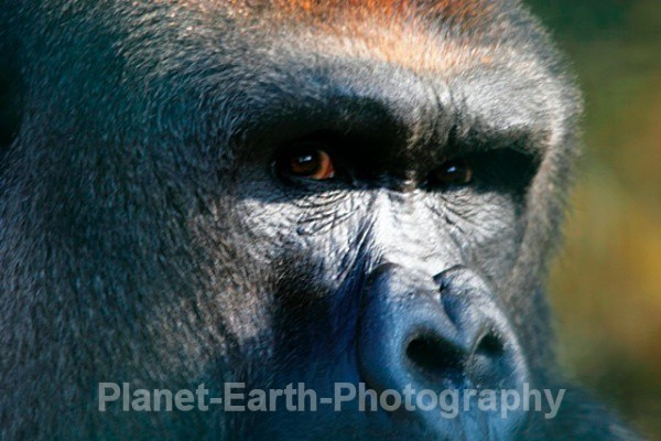 Silverback Male 4 - Primates