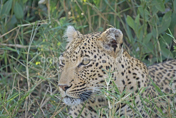 Watchful leopard - Timbavati, South Africa - African Leopards