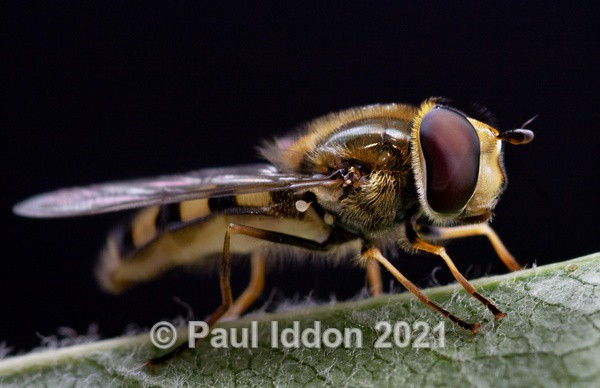 Hoverfly - Macro