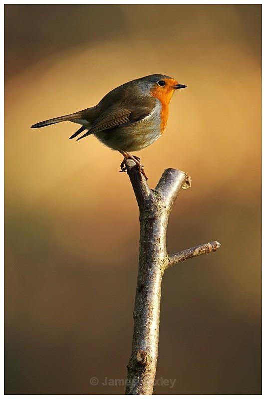 Robin - British Birds