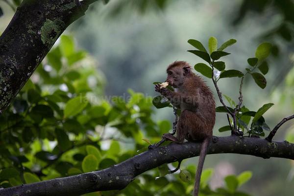 Macaque Monkey in Jungle in Ella Sri Lanka 2 - Sri Lanka wildlife, people & places