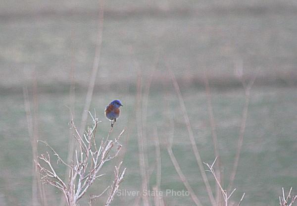 Western Bluebird - Nevada Birds