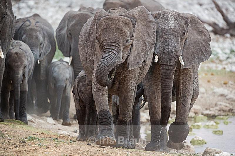Jumbos II - Elephant