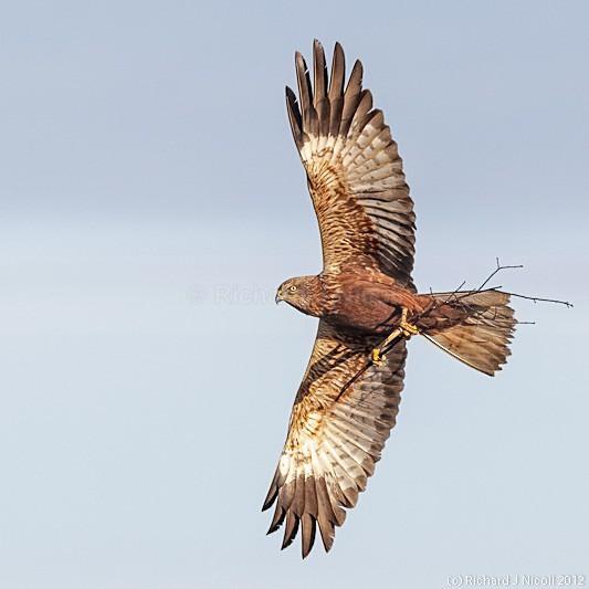 Marsh Harrier (Circus aeruginosus) male with nesting material - Marsh Harrier (Circus aeruginosus)
