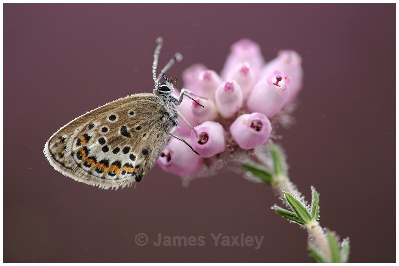 Silver Studded Blue on Pink Bell Heather - Butterflies, Dragonflies and Demoiselles