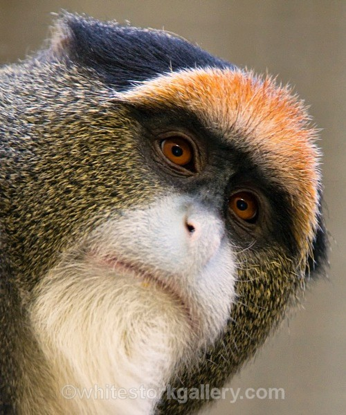 De Brazza's Monkey - Wildlife and Animals