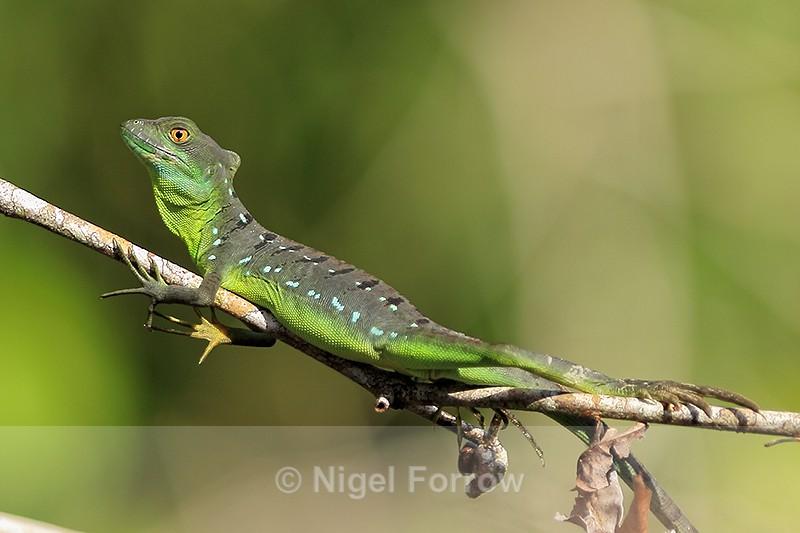 Plumed (Green) Basilisk, Tortuguero National Park, Costa Rica - REPTILES & AMPHIBIANS