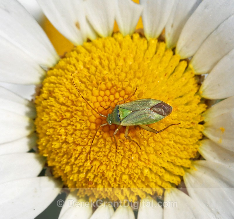 Potato Bug Closterotomus norvegicus - Bees, Beetles, Bugs