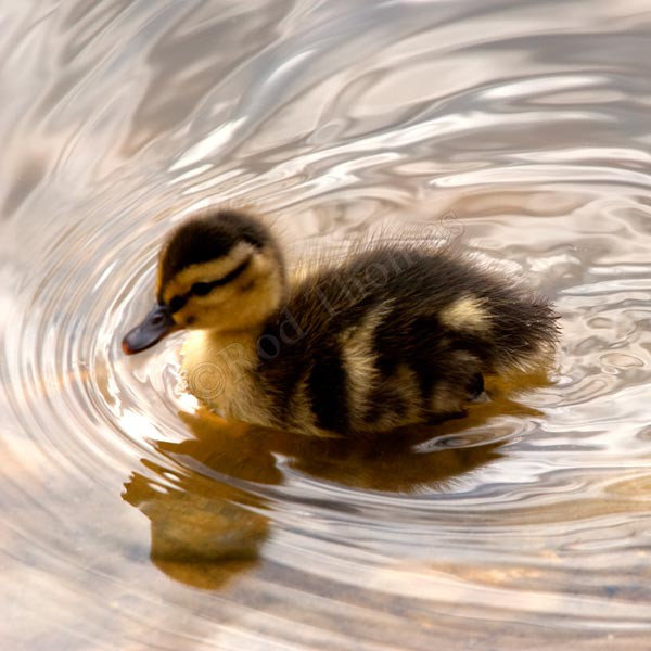 Duckling - Wildlife