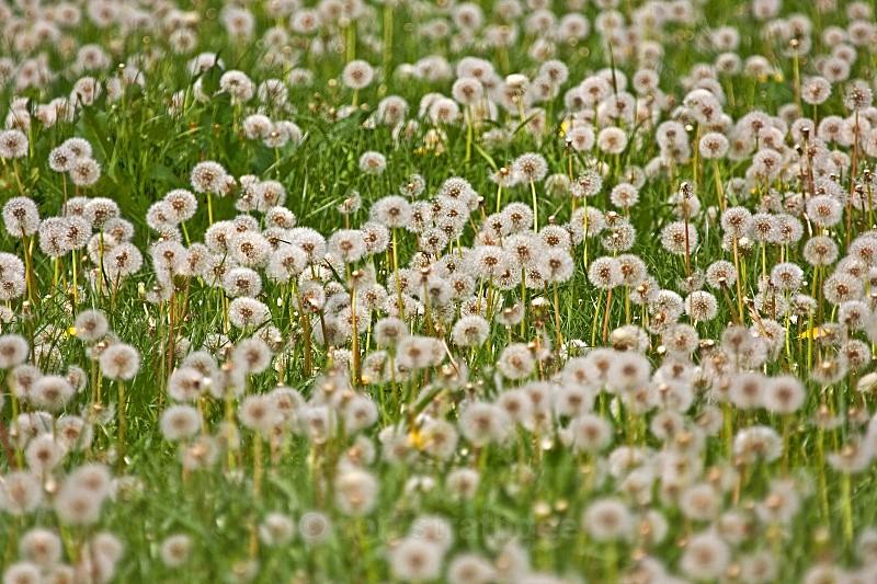 Dandelion harvest - Land of Man