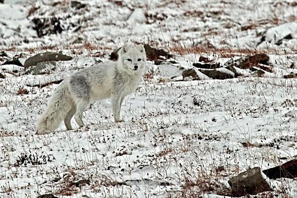 Arctic fox  6379a - Wildlife