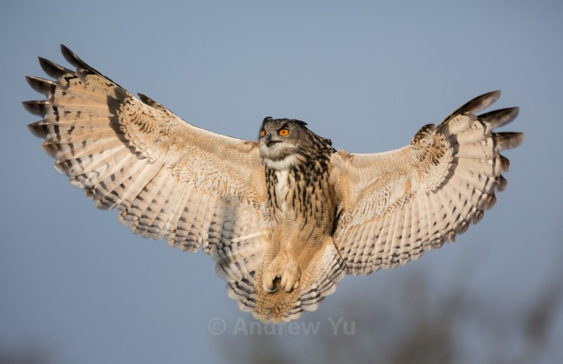 Eagle Owl spreading its wings! - Wildlife and Nature Photography