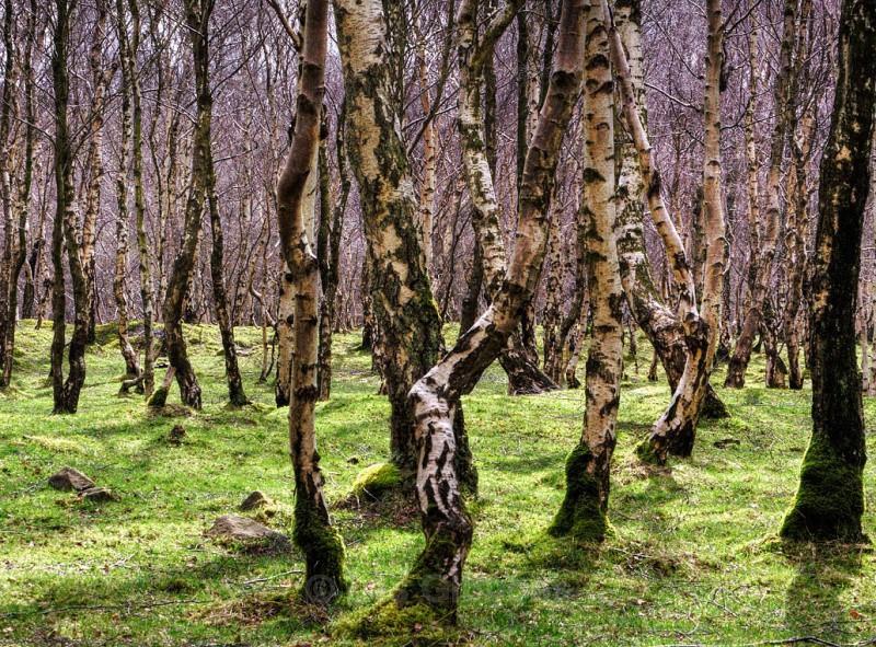 hathersage birches_edited-1jpg - Peak District