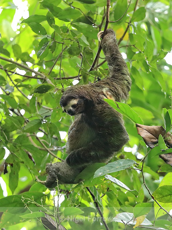 Three-toed Sloth scratching, Panama - Sloth