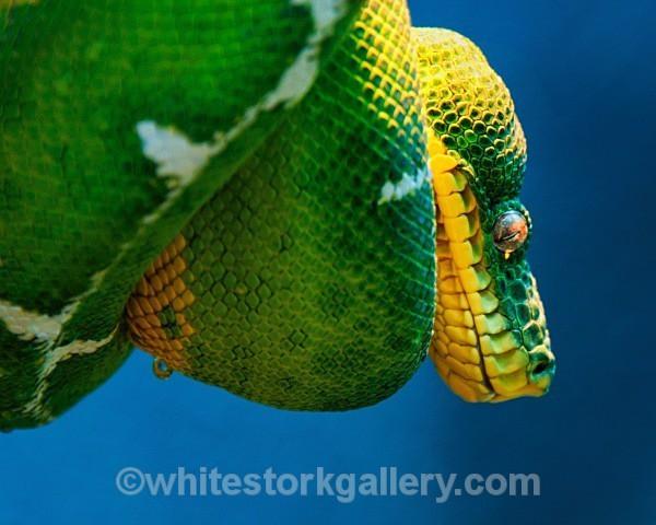 Emerald Tree Boa - Wildlife and Animals
