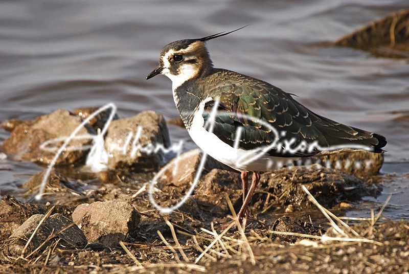 Lapwing - Latest Images