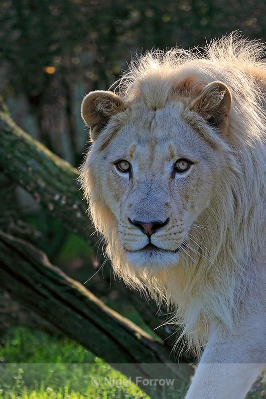 White lion close-up - Lion