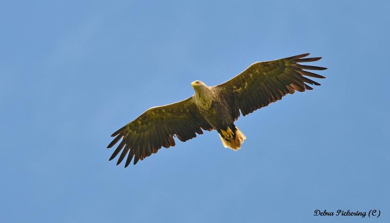 Sea Eagle - Birds Of Prey