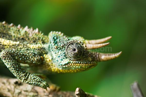 Chameleon Nairobi, Kenya