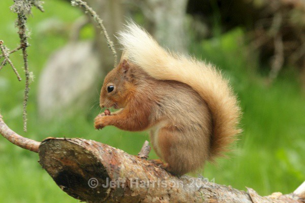 Red Squirrel (RS 05) - Mammals