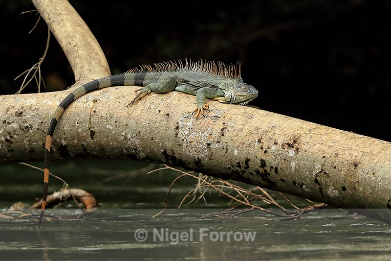 Green Iguana resting on fallen tree above river, Costa Rica - REPTILES & AMPHIBIANS