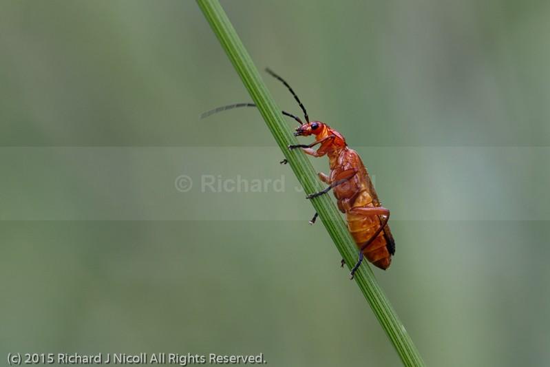 Soldier Beetle (Rhagonycha fulva) - Soldier Beetle (Rhagonycha fulva)