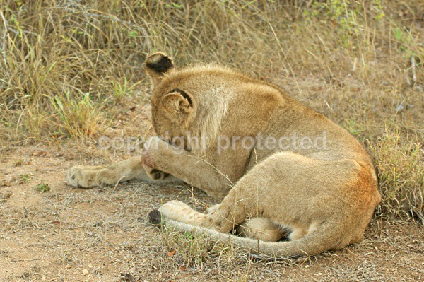 Being sorry - African Lions