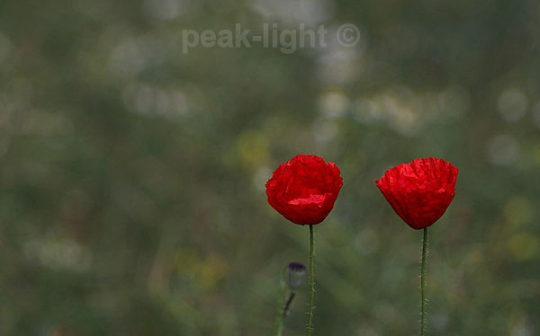 Poppies - Lucky Dip