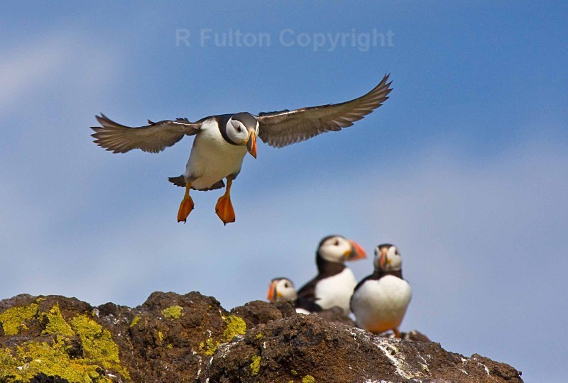 Puffins No 2 - Nature