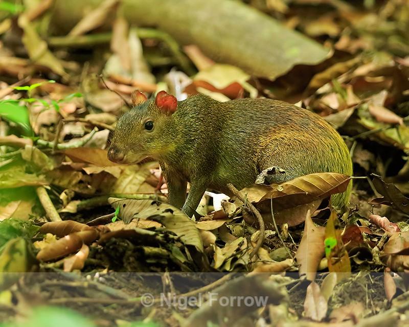 Central American Agouti, Corcovado National Park, Costa Rica - Agouti