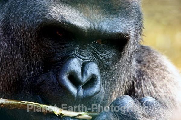 Silverback Male Gorilla 1 - Primates
