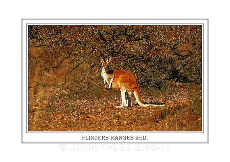 Beautiful Wall Art print  with a Border, showing a Male, Red Kangaroo, Flinders Ranges, South Australia.