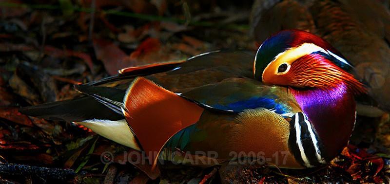 Mandarin Duck 2-0938 - ANIMAL AND BIRD PHOTOS