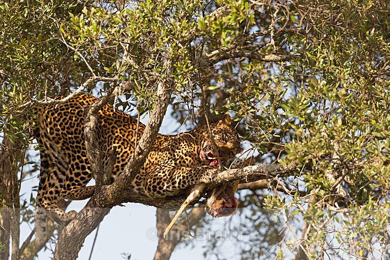 Impala Meal - Leopard