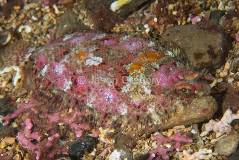 Phrynorhombus norvegicus - Fishes – bony and cartilagous (Pisces)