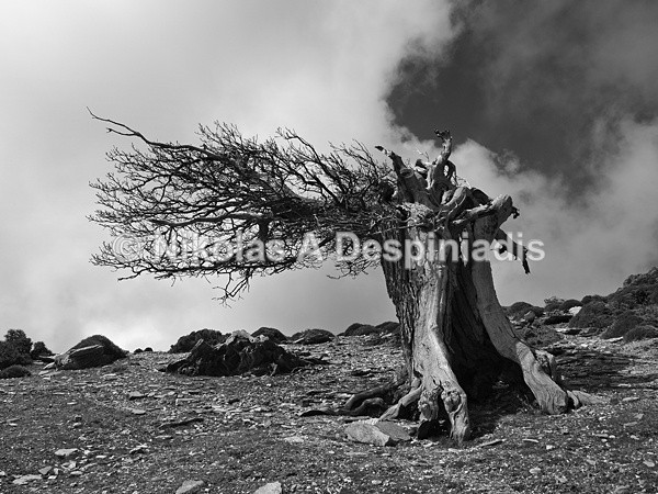 Shaped by the wind - Δέντρα Ι Trees