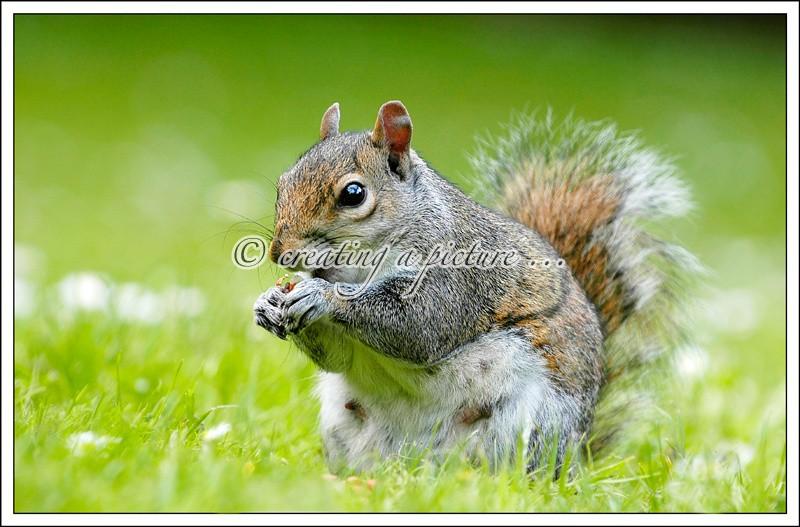 Grey Squirrel - Nature