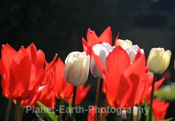 Riddlestone Tulips 2 - Changing Seasons