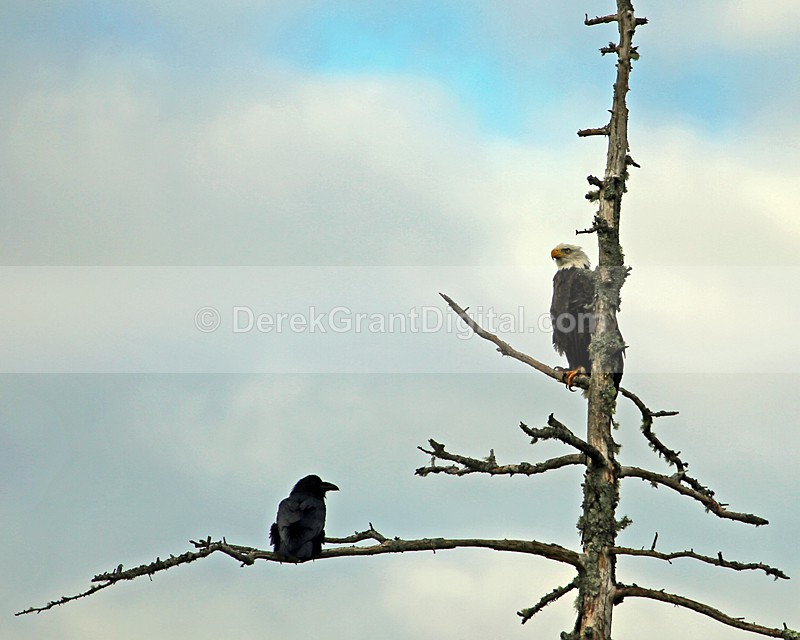 The Eagle & the Raven - Birds of Atlantic Canada