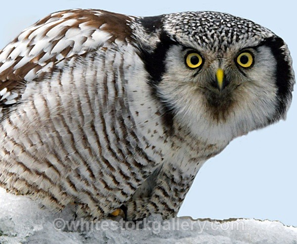 Brown Owl - Wildlife and Animals