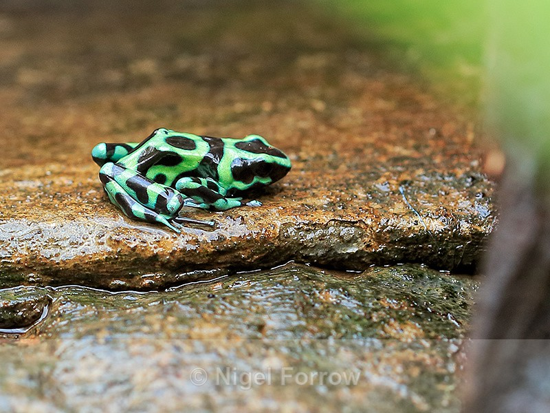 Green and Black Poison Frog, La Paz Gardens, Costa Rica - REPTILES & AMPHIBIANS