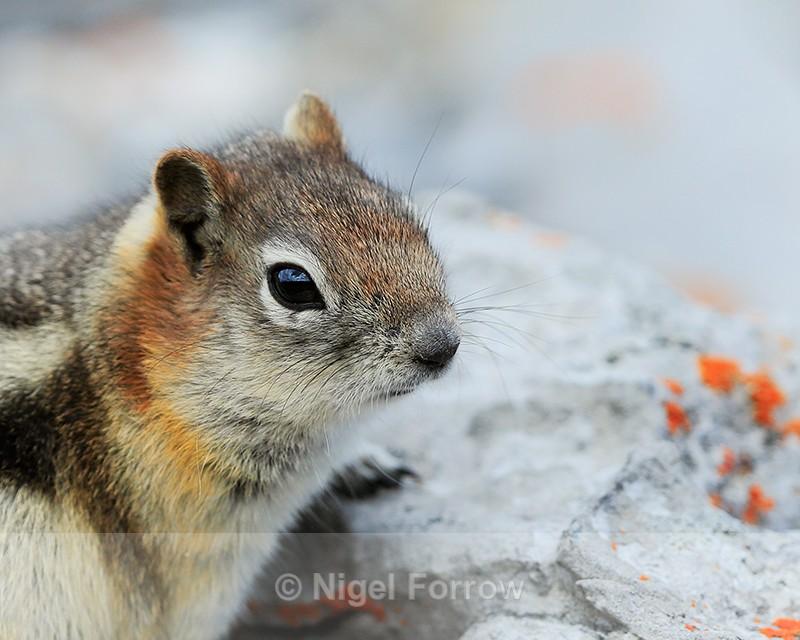 Golden-mantled Ground Squirrel, close view, on Sulphur Mountain, Banff - Squirrel