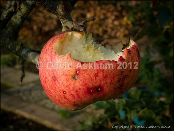 Apple feeder - Leica Digilux 2