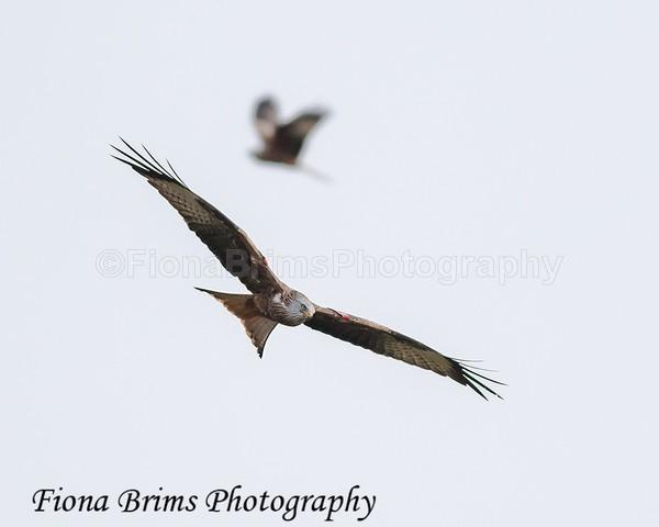 Red Kites  November-176 - Birds of Prey