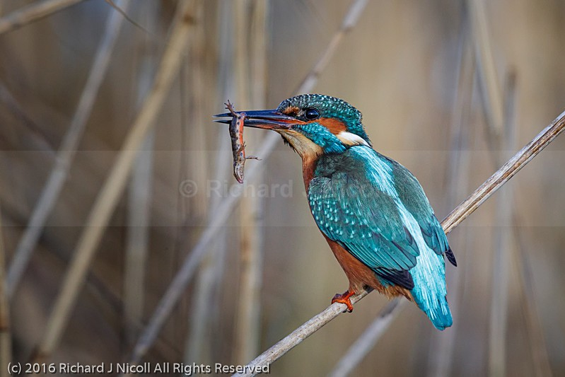 Kingfisher (Alcedo atthis) female with Common Newt (Lissotriton - Kingfisher