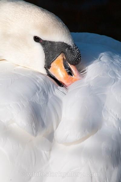 White Swan - Wildlife and Animals