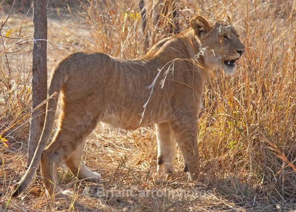 Juvenile Lion, Zambia - African Safari Tour 09 Zambia, Botswana,Namibia & South Africa
