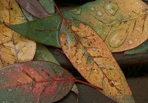 Eucalyptus leaves - Different...